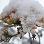 Bloesem van de sneeuwbal