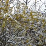 Forsytsia in de sneeuw